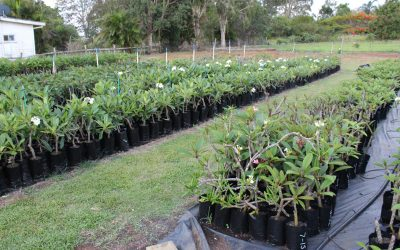 Our Local Frangipani Breeding Program